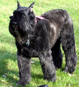 Bouvier des Flandres Silver Beards